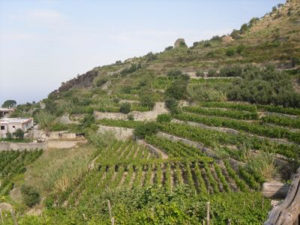 Vineyards Ischia